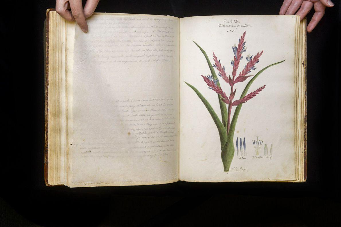 """Die """"Tillandsia tenuifolia"""" kann ohne Substrat gedeihen, muss also nicht in Erdboden gepflanzt werden, da sie ..."""