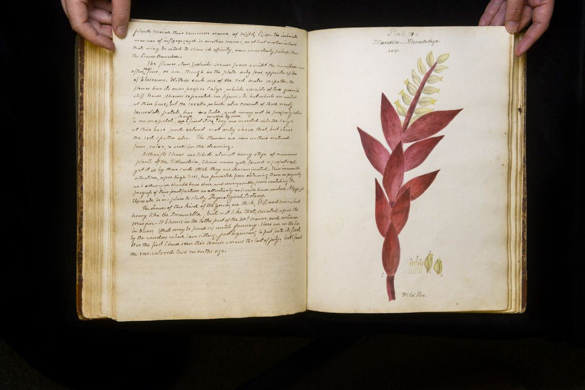 """Diese Zeichnung beschriftete Wollstonecraft mit """"Tillandsia monostadrya"""", was vermuten lässt, dass es sich um eine weitere ..."""