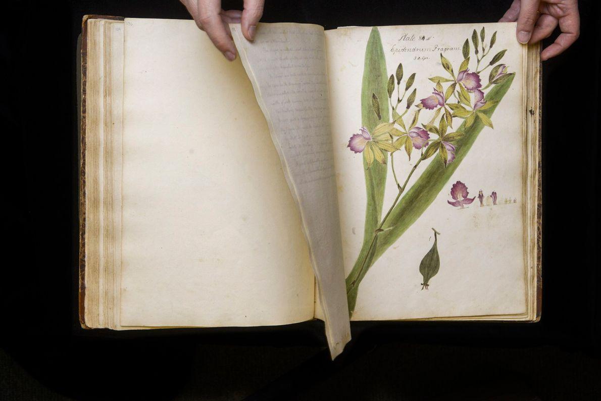 """Diese Orchidee, die in Wollstonecrafts Manuskript mit """"Epidendrum fragrans"""" beschriftet ist, ist eines der Exemplare, deren ..."""