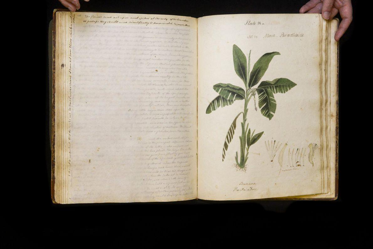 """Die Dessertbanane """"Musa paradisiaca"""" gehört zu jenen Bananenarten, die vorwiegend für die Nahrungsmittelproduktion angebaut werden."""