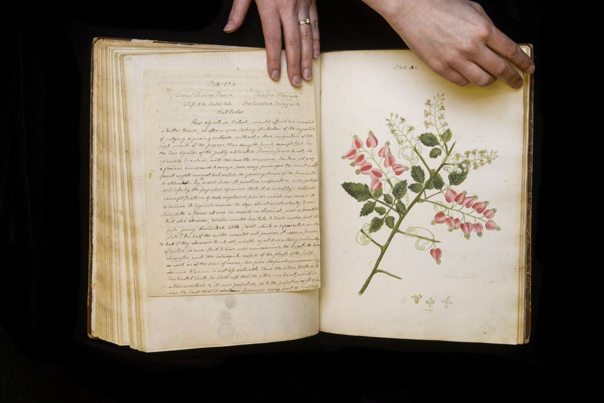 Wollstonecraft beschreibt diese Pflanze als Kletterpflanze – womöglich ein Exemplar aus der Gattung der Seifenbäume.