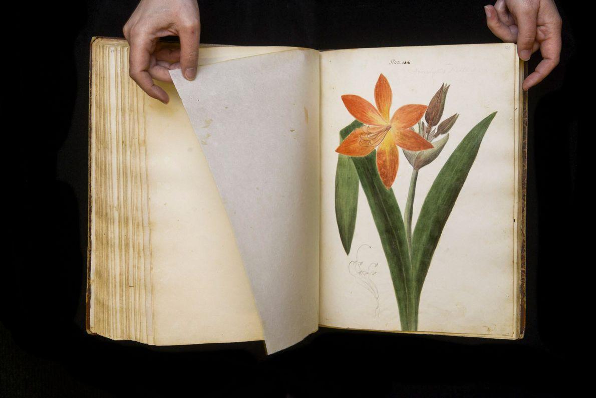 """Diese Zeichnung zeigt eine nicht identifizierte Pflanze aus der Gattung """"Amaryllis""""."""