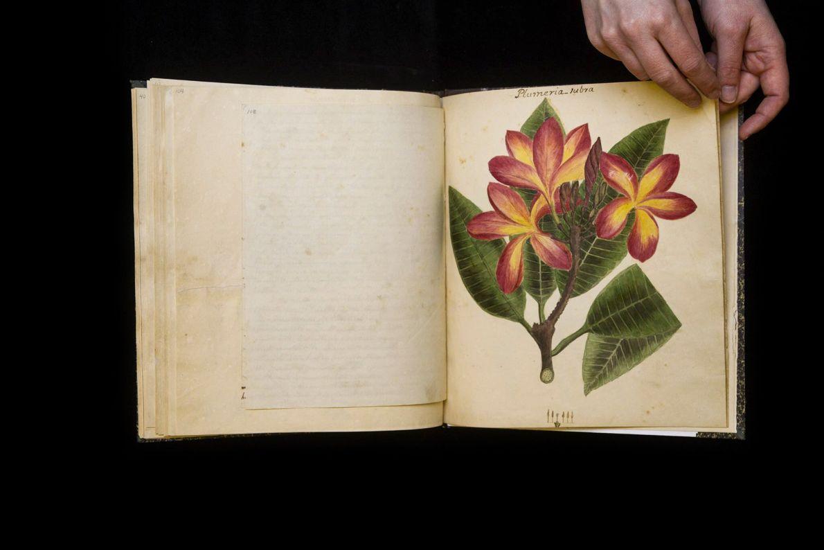 """Die Rote Frangipani (""""Plumeria rubra"""") ist ein sommergrüner, blühender Laubbaum, der ursprünglich aus Mittelamerika stammt und ..."""