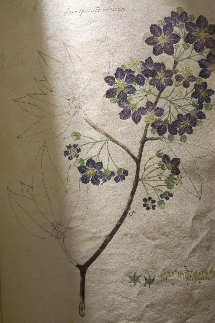 """Diese Illustration einer """"Lagerströmie"""" zählt zu den unfertigen Skizzen: Die Blüten wurden koloriert, während die Blätter ..."""