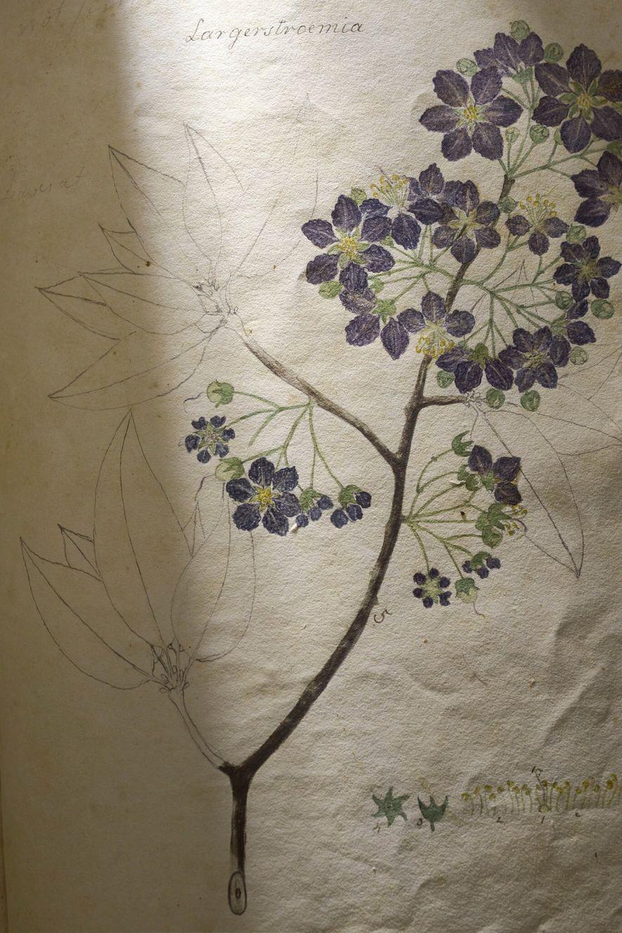 """Diese Illustration einer """"Lagerströmie"""" zählt zu den unfertigen Skizzen: Die Blüten wurden koloriert, während die Blätter nur als Bleistiftskizze vorhanden sind. """"Ich denke, sie hat diese Technik vielleicht genutzt, um zu zeigen, was sie sah – nämlich die Blütezeit der Pflanze im Frühling, als die Blätter gerade erst als Knospen zu sehen waren"""", sagt Anne Sauer. """"Die da Blätter noch nicht ausgewachsen waren, hat sie womöglich mit Bleistift gearbeitet, um zu zeigen, dass sie nur darüber spekulierte, wie die voll ausgebildeten Blätter aussehen würden. Sie wollte einfach verdeutlichen, dass ihre Zeichnung nicht auf tatsächlichen Beobachtungen beruhte."""""""