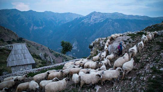 In der Abenddämmerung kehren die Schafe von der Weide in das Dorf Lukomir auf dem Berg ...