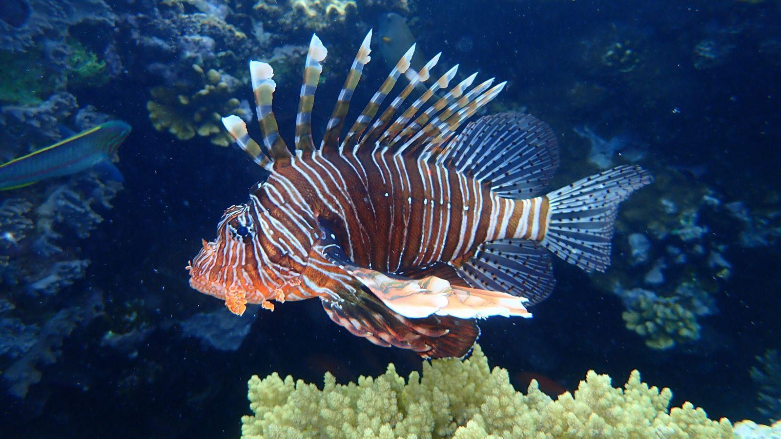 Indischer Rotfeuerfisch vor Ägypten.