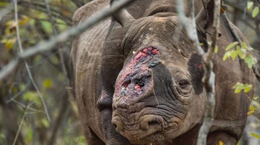 Nashorn-Jagd: Blutige Schlacht ums Horn
