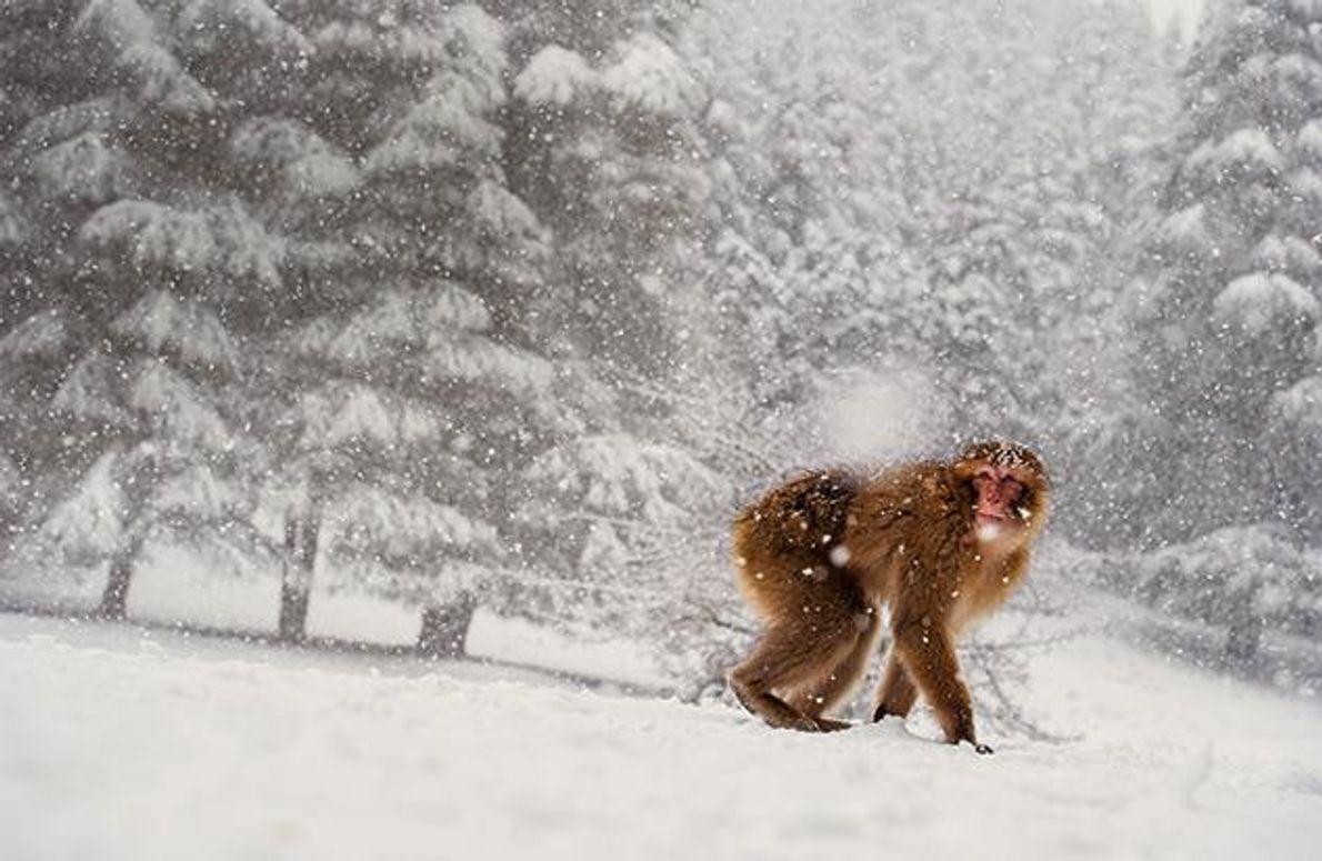 """""""Affenkälte"""" und Schneefall im Mittleren Atlasgebirge – den Makaken macht das nichts aus. Sie sind die …"""