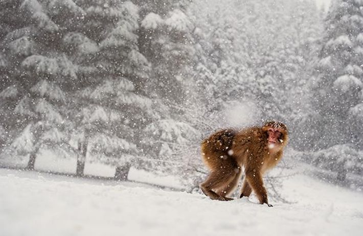 Makake im Mittleren Atlasgebirge