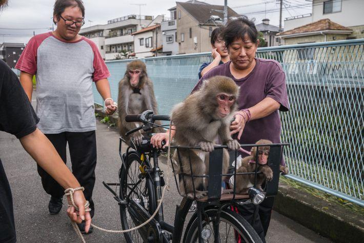 Makaken im Fahrradkorb