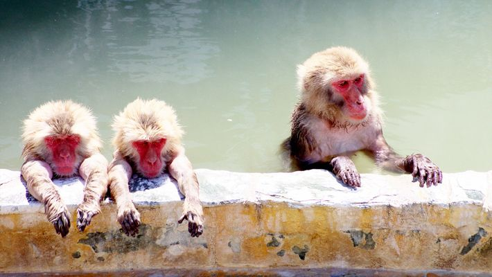 Makaken baden in einer heißen Quelle