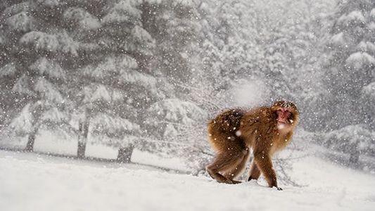 Die Makaken von Marokko