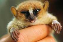 Diese Mausmaki-Art ist auf Madagaskar heimisch.