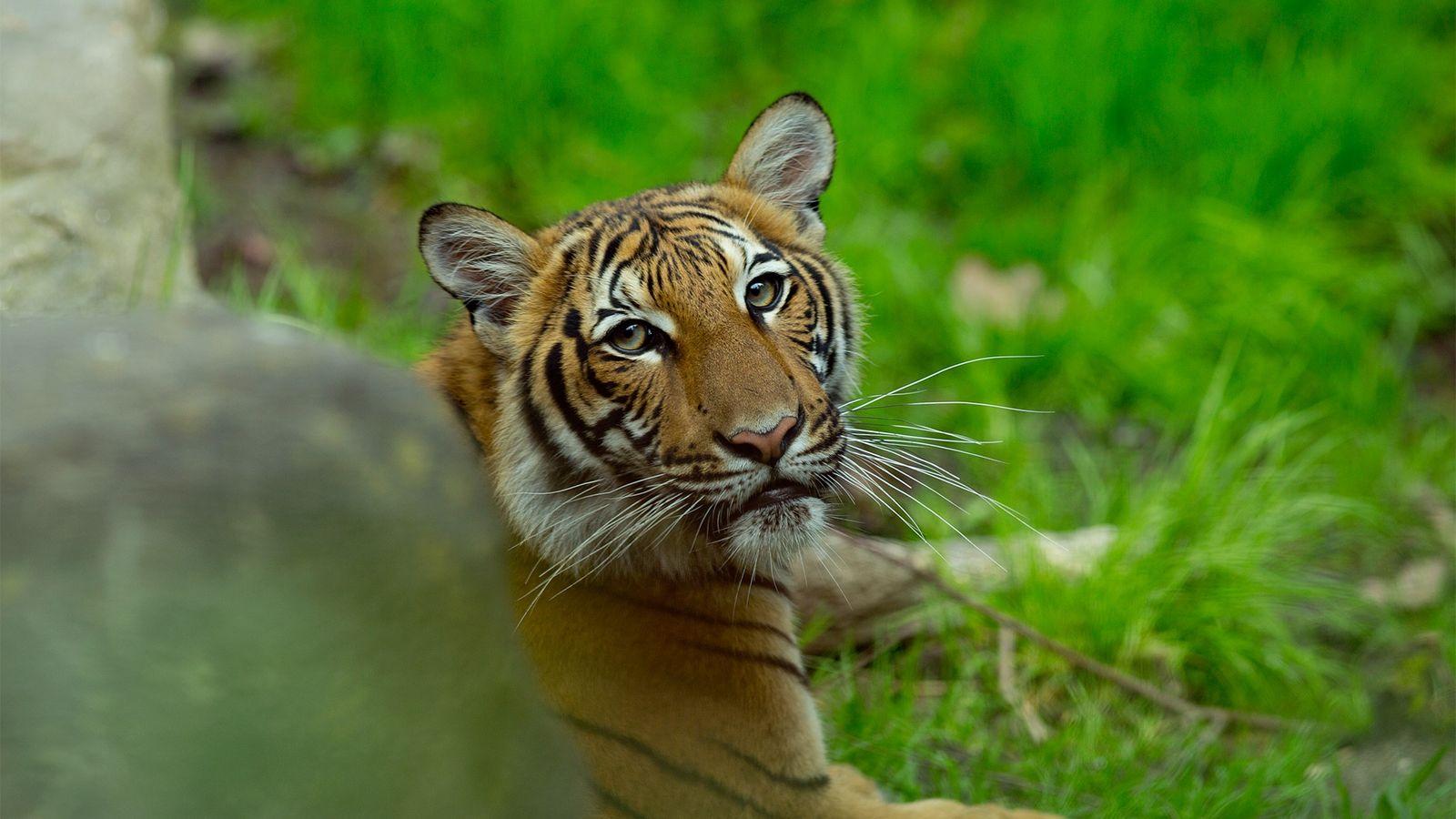 Ein Malaysia-Tiger im Bronx Zoo 2017. Zum ersten Mal wurde nun ein Tiger des Zoos positiv ...