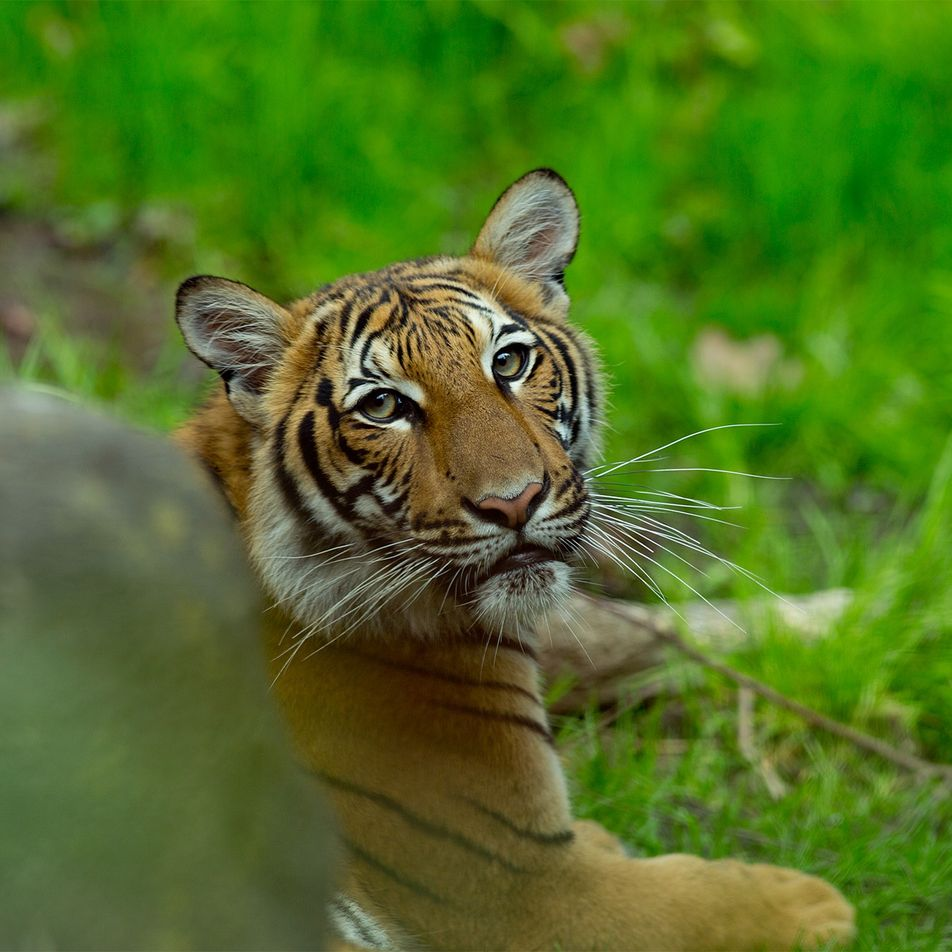 Durch Pfleger angesteckt: Tiger in US-Zoo an COVID-19 erkrankt