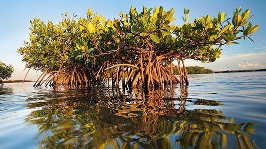 Florida: Mangroven erholen sich