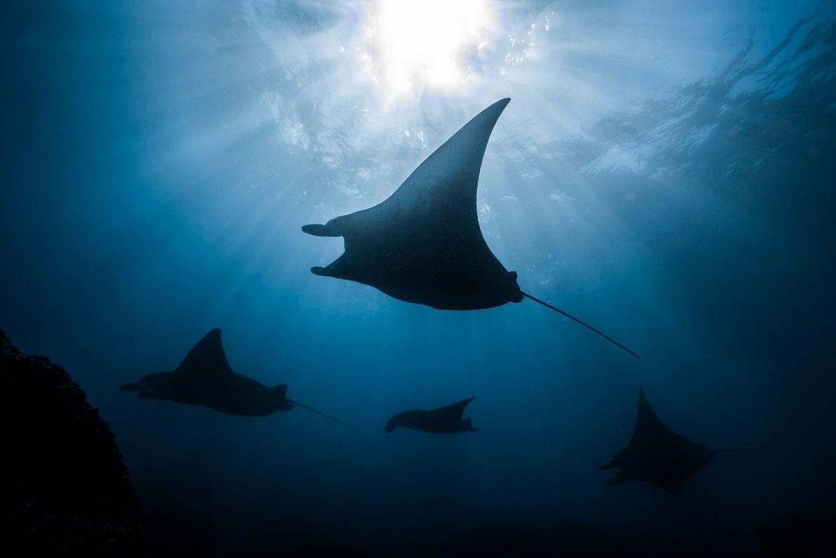 Männliche Mantarochen schwimmen in einer Karawane unter dem Vollmond hinter den Weibchen her. Die Aufnahme entstand ...