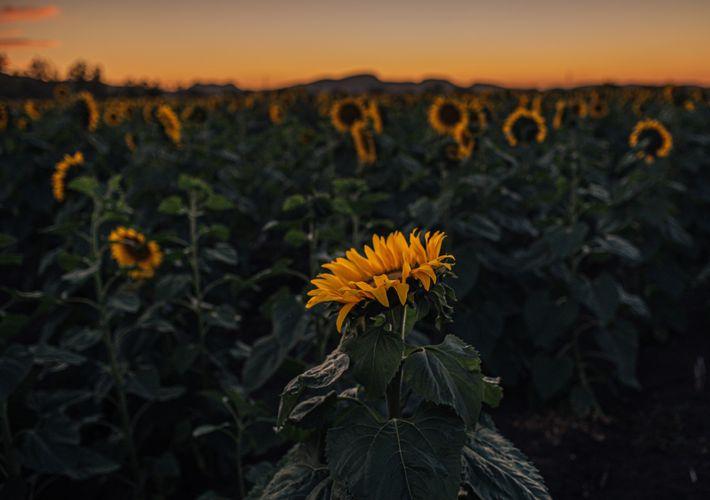 Mischkultur mit Sonnenblumen