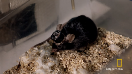 Forscher konnten Erinnerungen von Mäusen erfolgreich verändern