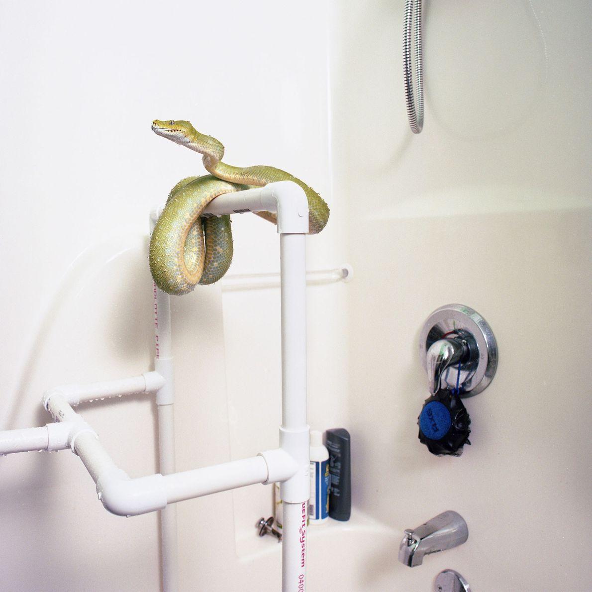 """Der Grüner Hundskopfschlinger Medusa entspannt sich gern auf einem selbstgebauten """"Baum"""" aus PVC-Rohren, den ihr Besitzer ..."""