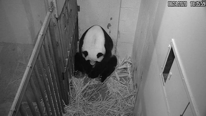 Mei Xiang nach der Geburt