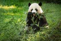Panda Mei Xiang