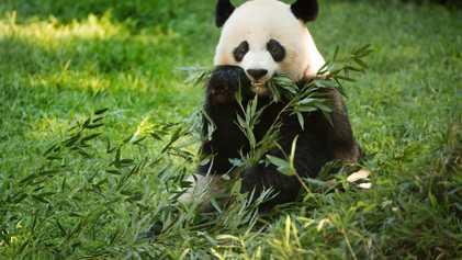 Mei Xiang ist wieder Panda-Mama: Warum Pandazucht so schwierig ist