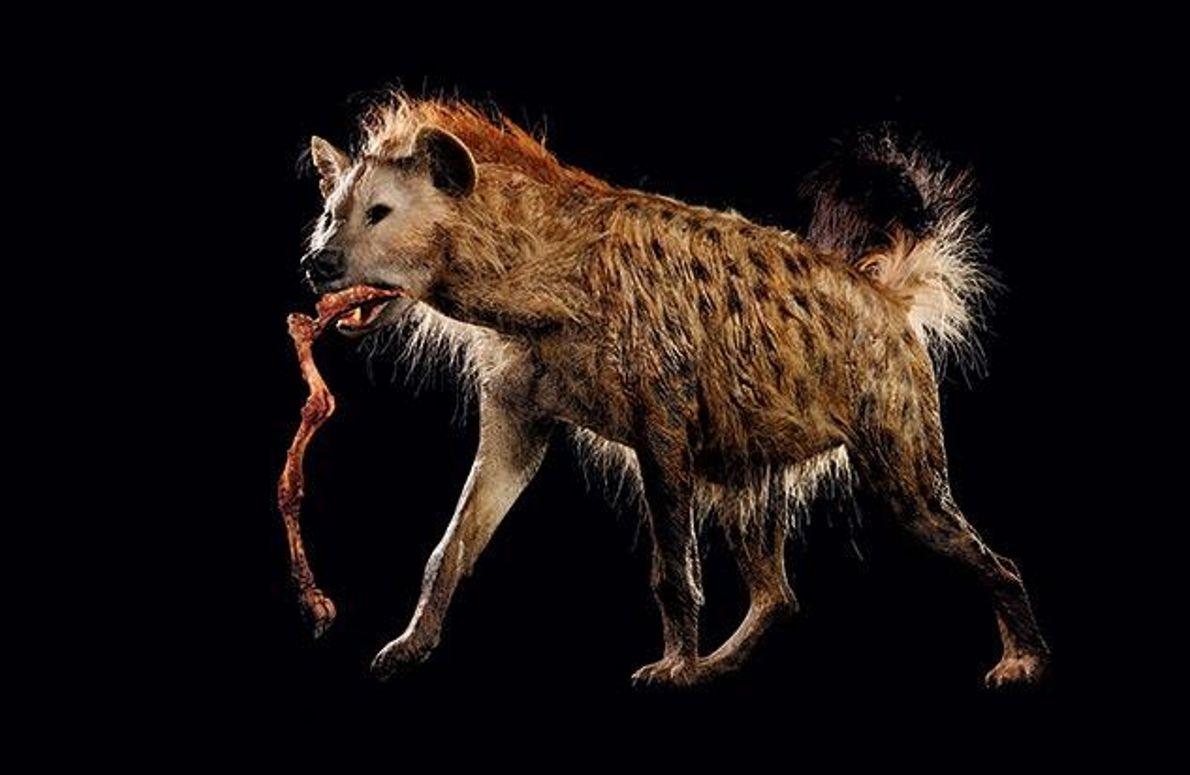Menschenfressende Hyäne?