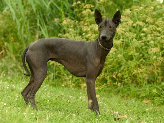 Xolos: Hunde der Azteken wurden geliebt, gegessen und geheiligt