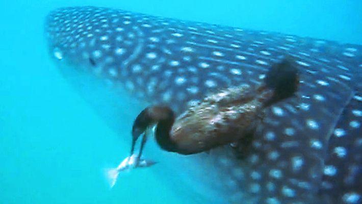Vogel schnappt sich unter Wasser einen Fisch von einem Hai