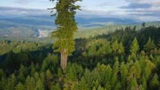 Wie fotografiert man einen 90 Meter hohen Baum?