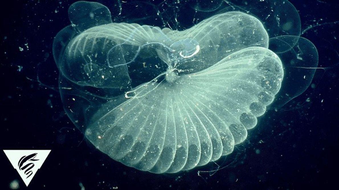 Larvacea