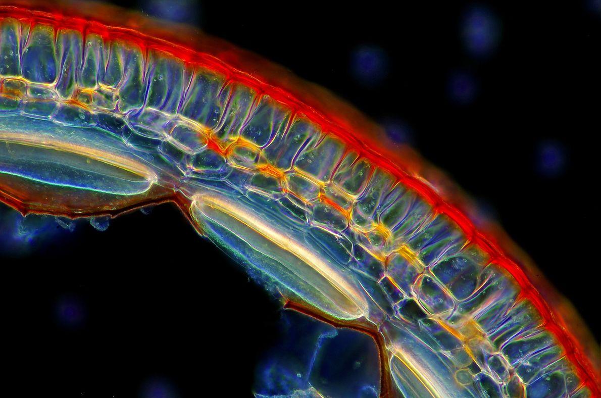 Um sich fortzupflanzen, bündeln Moose ihr Sperma und ihre Eier zusammen und bilden eine Zelle, die ...