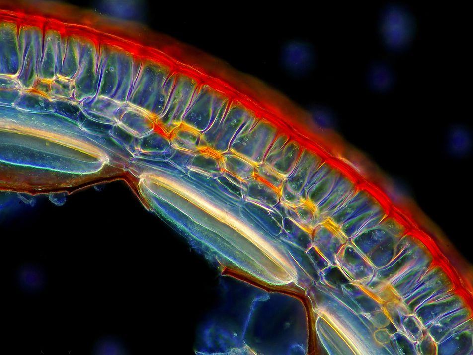 Galerie: Unter dem Mikroskop: Die versteckten Wunder der Pflanzen