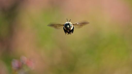 Eine Biene fliegt in der Natur