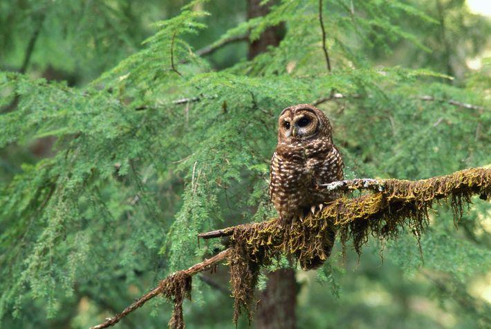 Ein Fleckenkauz sitzt auf einem Baumast in einem Wald im Pazifischen Nordwesten.