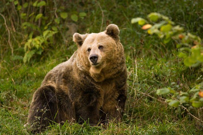 Kantabrische Braunbären leben noch frei in einigen Bergregionen Asturiens wie dem oberen Teil der Weinregion Cangas ...