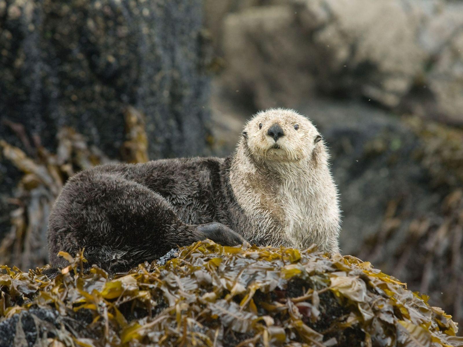 Ein Seeotter auf einem seegrasbewachsenen Felsen im Prinz-William-Sund in Alaska.