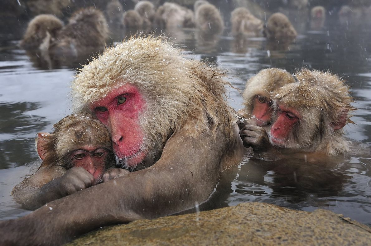 Für diese Japanmakaken in Nagano ist ein Dampfbad Familiensache. Das warme Wasser der natürlichen Quellen ist für ...