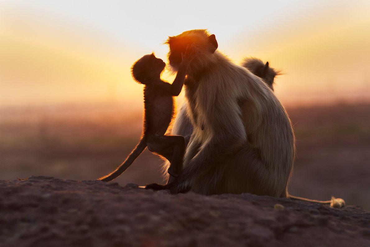 Ein Indischer Langur und sein Junges baden im Licht der untergehenden Sonne in der Nähe von ...