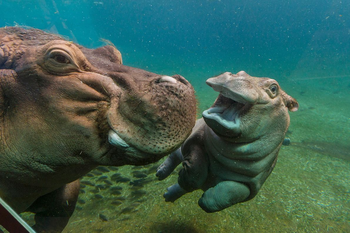 Flusspferde fühlen sich im Wasser pudelwohl. Oft werden sie sogar im Wasser geboren – die Mutter ...