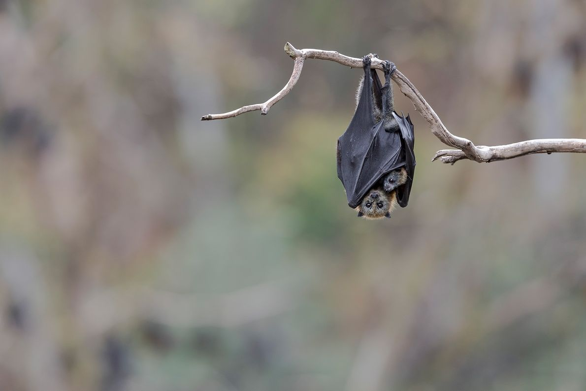 Ein weiblicher Graukopf-Flughund hängt mit seinem Jungtier von einem Baum. Die beiden Flughunde gehören zu einer ...