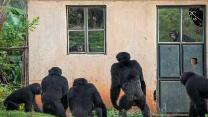 Platzproblem: Schimpansen auf Raubzug