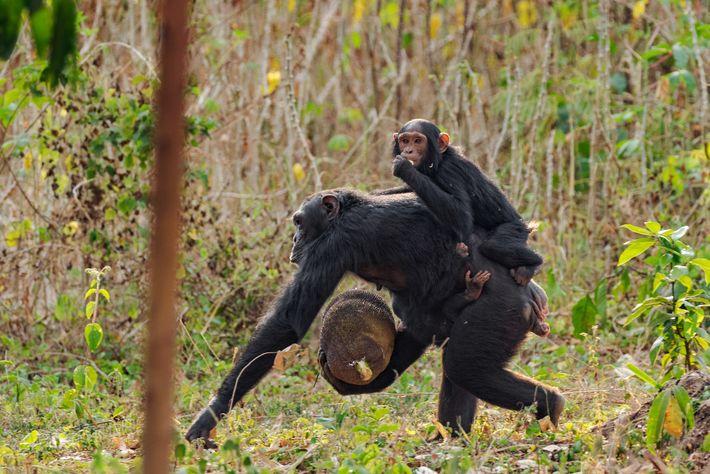 Schimpansen plündern Felder