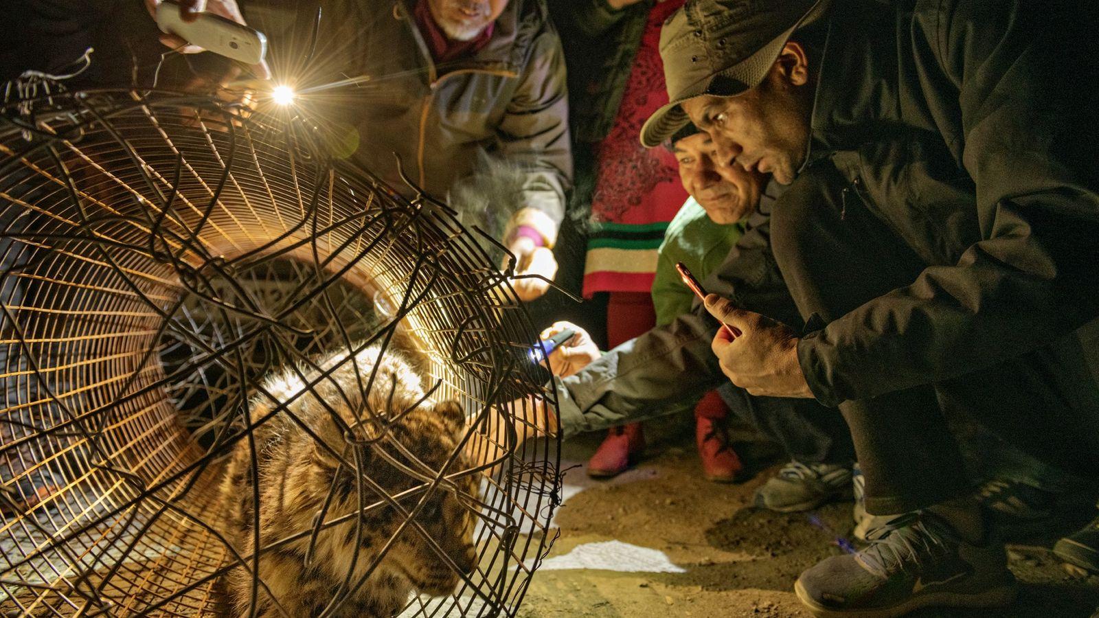Schneeleopard gefangen