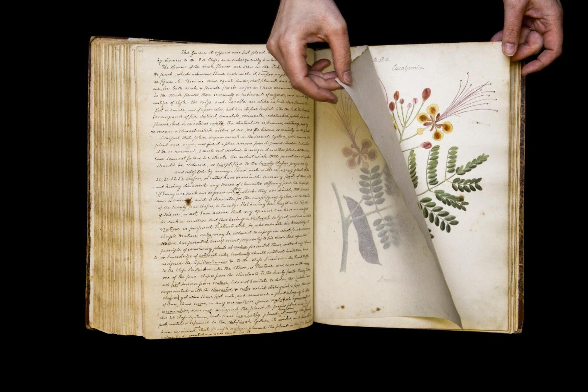 """Der Pfauenstrauch (""""Caesalpinia pulcherrima"""") ist ein blütentragender Strauch, der im tropischen und subtropischen Amerika heimisch ist. Diese Zeichnung der Pflanze stammt aus der Feder von Anne Wollstonecraft, die im 19. Jahrhundert in Kuba detaillierte Illustrationen und Beschreibungen der dortigen Fauna anfertigte. Ihr Werk befindet sich aktuell in den Rare and Manuscript Collections der Cornell University. Nach fast 200 Jahren wurde ihr Manuskript nun endlich wiederentdeckt. Neben den Zeichnungen enthält es historische Fakten, Verwendungsmöglichkeiten, Gedichte und persönliche Beobachtungen von mehr als hundert Pflanzenarten."""