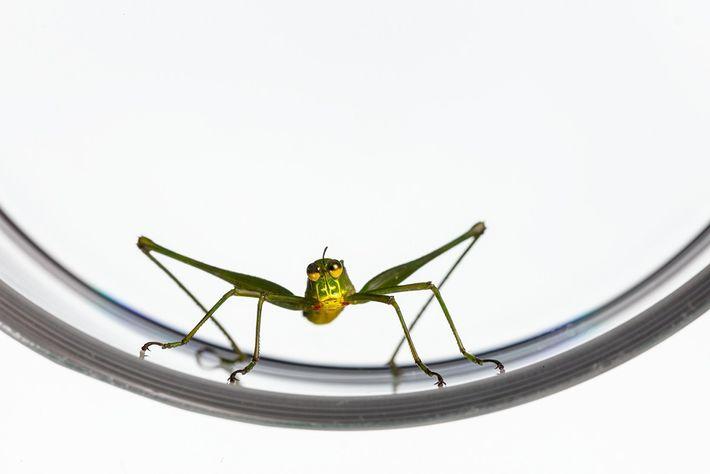 Insekten Grashüpfer