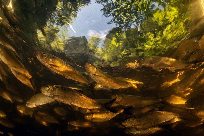Der US-Bundesstaat Maine leistete Pionierarbeit bei der Entfernung von Dämmen zur Wiederherstellung von Lachswanderrouten. Jetzt schwimmen ...