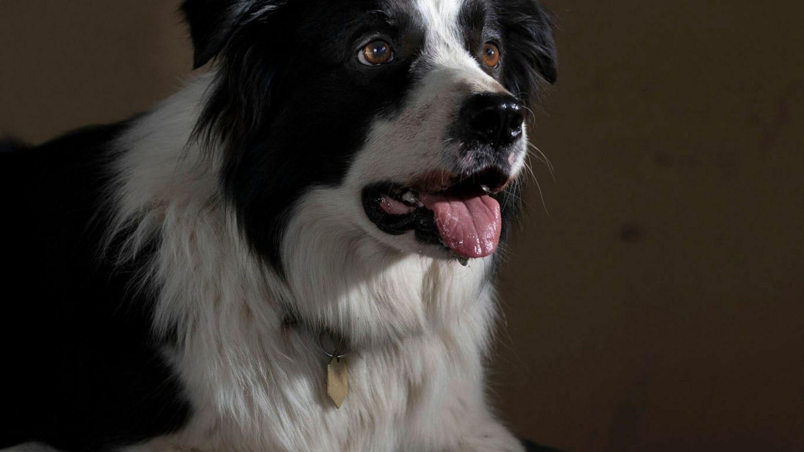 Border Collies (im Bild ein Hütehund in Arizona) gelten als besonders kluge Hunde.